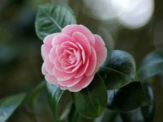 Amazing Flowers, Pretty Flowers, Pink Flowers, Purple Roses, Camellia Japonica, Rose Plant Care, Plant Fungus, Planting Roses, Roses Garden