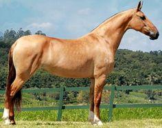 Beautful pale red dun Campolina mare Donata do Pegasus. photo: Ricardo Caballer.