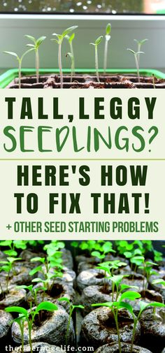 Indoor Gardening: Having trouble starting seeds for your vegetable garden? Here's how to fix 4 common seed starting problems! | Vegetable Gardening | Organic Gardening | Homesteading | Gardening Tips