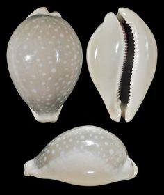 Lyncina camelopardalis f. sharmiensis. Huge! 85.5 mm, GEM