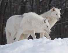 Image detail for -Snowy White Wolves, animals, arctic wolves, baby white wolves, grey ...