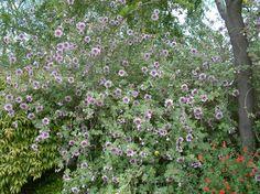 Lavatera Assurgentiflora: Tree Mallow.  A top 25 hummingbird nectar plant.