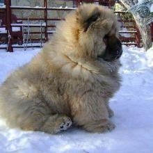 Caucasian Shepherd dog.. Prison guard dog