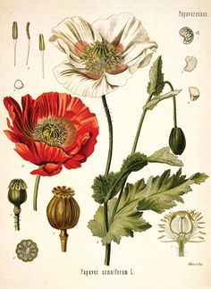 Framed Botanical Prints, Botanical Drawings, Botanical Art, Botanical Gardens, Illustration Botanique Vintage, Vintage Botanical Illustration, Vintage Illustrations, Drugs Art, Impressions Botaniques