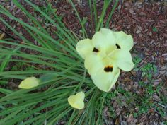 Country-Like Feeling Florida Garden This is a yellow African Iris.