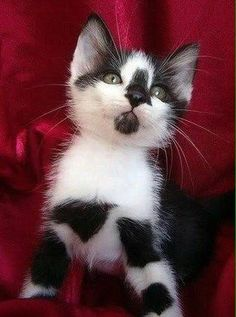 Cat Allergies - All The Great Stuff You Can Learn About Cats - Cat and Kittens Cute Cats And Kittens, Cool Cats, Kittens Cutest, Funny Kittens, Ragdoll Kittens, Tabby Cats, Cute Kitten Pics, Tiny Kitten, Sphynx Cat