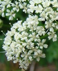 Afbeeldingsresultaat voor zevenblad bloem