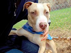 TO BE DESTROYED - 11/29/14 Manhattan Center -P My name is KALSA. My Animal ID # is A1021034. I am a male tan and white pit bull mix. The shelter thinks I am about 2 YEARS. For more information on adopting from the NYC AC&C, or to find a rescue to assist, please read the following: http://urgentpetsondeathrow.org/must-read/