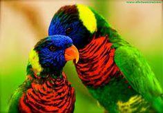 Resultado de imagen para aves diamante de gould