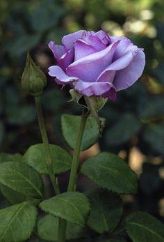 'Neptune' | Hybrid Tea Rose. Tom Carruth, 2003 | © Cap001 – Dan