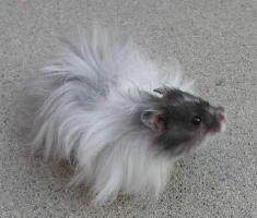 Hairy Hamsters | Hammie Hamsterforum