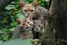 European Wildcats