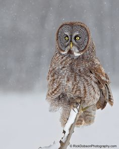 Great Grey Owl on a Snowy Day by Rick Dobson on 500px