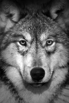 ".""Wolf is the Grand Teacher. Wolf is the sage, who after many winters upon the sacred path and seeking the ways of wisdom, returns to share new knowledge with the tribe. Wolf is both the radical and the traditional in the same breath. When the Wolf walks by you-you will remember."" -Robert Ghost Wolf ♣️WOLF♣️Fosterginger.Pinterest.Com♠️ More Pins Like This One At FOSTERGINGER @ PINTEREST No Pin LimitsFollow Me on Instagram @  FOSTERGINGER75 and ART_TEXAS"