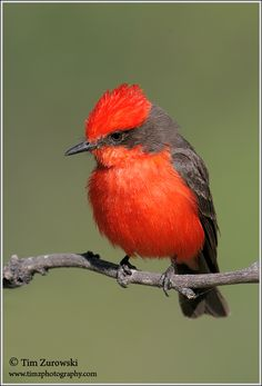 Vermillion Flycatcher (Pyrocephalus rubinus).  What a beauty! Only in the HIll Country during migration.