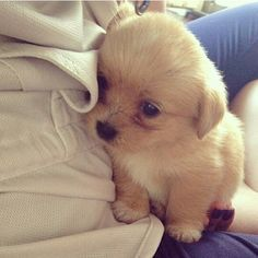 Such a shy little cute puppy. You are one of the most beautiful little puppies I've ever seen. #cute #puppy #PetPremium