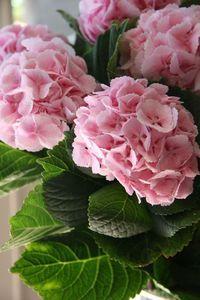 hydrangea lollipop p Beautiful gorgeous pretty flowers Hortensia Hydrangea, Hydrangea Garden, Pink Garden, Hydrangea Flower, My Flower, Pink Flowers, Beautiful Flowers, Beautiful Gorgeous, Garden Art