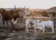 There is just something magical about Nguni that has intrigued me over the years and this has sparked my journey to photograph these images for 'The Sacred Herd series. Each and every print is handcrafted right here in East London, South Africa. Each Canvas is hand-stretched and meticulously inspected to ensure your print is perfect.