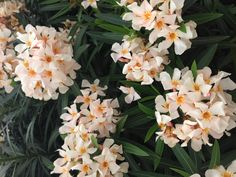 Oleander, poisonous-yes, even deadly. But beautiful!