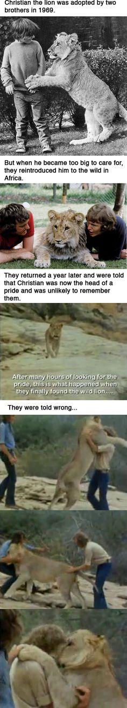 Christian, o leão que foi adotado por dois irmãos em 1969. Mas quando ele se tornou grande demais para cuidarem dele, eles o reintroduziram na África selvagem. Eles retornaram um ano depois e foram informados de que Christian era agora líder de uma alcatéia e provavelmente não se lembraria deles. Depois de muitas horas procurando pela alcatéia, isso foi o que ocorreu quando eles finalmente encontraram o leão. Eles foram mal informados