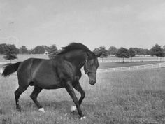 Famous stallion horse, Bull Lea, used for breeding purposes on Calumet Farm. All The Pretty Horses, Beautiful Horses, Horses And Dogs, Animals And Pets, Calumet Farm, Horse Racing, Race Horses, Sport Of Kings, Thoroughbred Horse