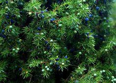 Wissenswertes über den Wacholder Wacholder ist eine uralte Heilpflanze, die besonders in der kalten Jahreszeit in jeden Haushalt gehört. Wer die Wacholderbeeren selber sammeln möchte, Weiterlesen