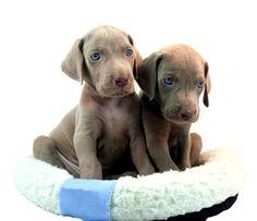 Weimaraner Puppies!