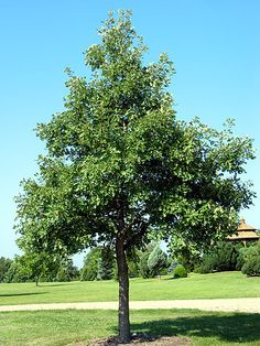 Bur oak, 70 x 70.  Tolerant of a variety of moisture and soil conditions, adapts well to urban settings. Fairly slow grower.  Its fringed acorns are food for wildlife. A very long-lived tree. Prefers full sun.  Probably too large for most landscapes but very impressive and inspiring if there is space.