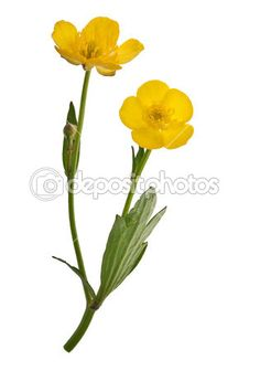 Two yellow buttercup flowers