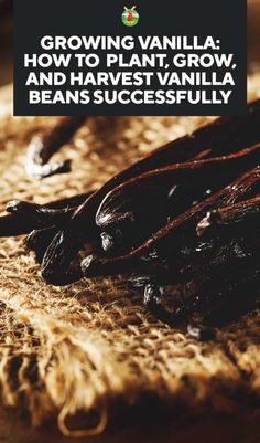 Growing Vanilla: How to Plant, Grow, and Harvest Vanilla Beans Successfully - Giga Pic Growing Ginger Indoors, Growing Herbs, Growing Vegetables, Organic Gardening, Gardening Tips, Vegetable Gardening, Fairy Gardening, Veggie Gardens, Urban Gardening