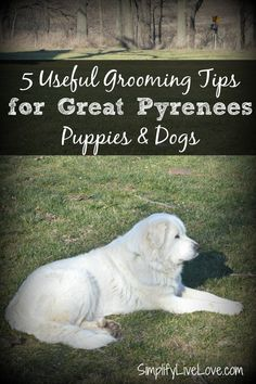 These tips and tricks for coat, teeth, nails, and ears will help you take the best possible care of your Great Pyrenees Puppies! #BayerExpertCare #ad