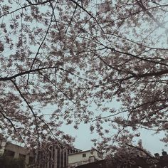 Yesung Instagram Update: 봄이구나 .. #벚꽃  Trans: It's really spring .. #CherryBlossoms