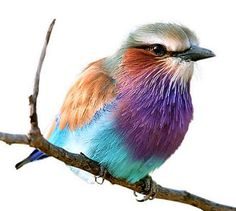 The Lilac-breasted Roller is widely distributed in sub-Saharan Africa and the southern Arabian Peninsula, and it prefers to live in the open woodland and savanna; it is largely absent from treeless places. This tiny bird shows some of the more sea affected colors, the cooler colors, such as blue, purple, brown, green, and shades/mixes of red. It is amazing that this little bird can show so many colors.