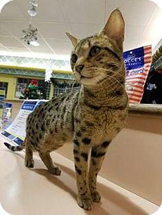 Philadelphia, PA - Bengal. Meet Simon, a cat for adoption. http://www.adoptapet.com/pet/17285765-philadelphia-pennsylvania-cat