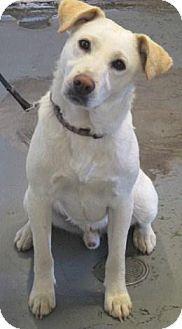 Red Bluff, CA - Labrador Retriever Mix. Meet Q a Dog for Adoption.