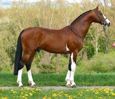 Baron Von Vendavel 17.3hh Black and White Tobiano Georgian Grande Stallion at flying W farm