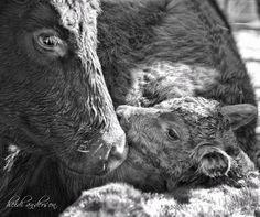 Legacy Livestock Photography <3