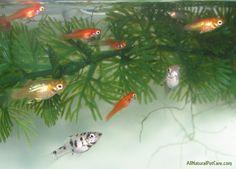 Some of the baby Livebearer fish {domestic Swordtails, Platies & Mollies} in our aquarium.