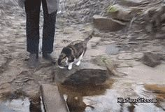 Clever Cat Carefully Crosses Bridge without getting paws wet
