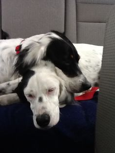 English Setter puppies, Betty and Wilma, exhausted after a run on the beach!