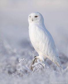 QUEBEC SNOW OWL Glossy 8x10 Photo Print America Poster Bird Nature Wildlife