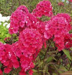 Syysleimu 'Starfire' Shrubs, Perennials, Garden, Flowers, Plants, Trees, Garten, Lawn And Garden, Tree Structure