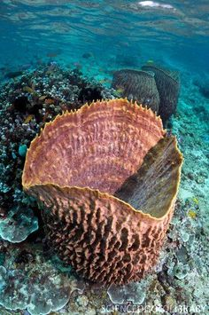 Giant barrel sponge (Xestopongia testudinaria) on a coral reef