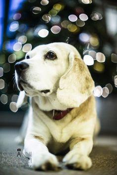 It's a Christmas Beagle!