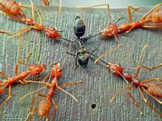 Nature's cruelty - red ants ripping black ant apart