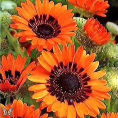 Orange Cape Daisy annual flower - Bright orange blooms summer to fall - Excellent cut flowers.