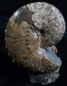 This is a exceptional specimen of a rare Fox Hills ammonite, Hoploscaphites spedini from the Fox Hills Formation of SD.  Just added to FossilEra.com