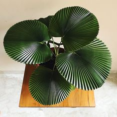 Gorgeous plant, this would look great in a bathroom.