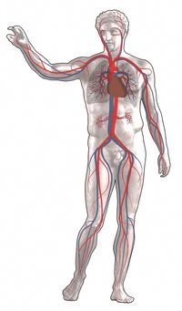 david circulatory
