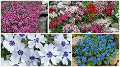 Plante covor cu multe flori pentru o gradina plina de culoare